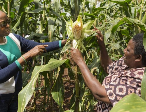 Sustainable intensification benefits Africa's smallholder farmers